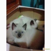 Продам котёнка тайской породы