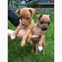 Дочка продає маленьких собачат Той Терєрів (дівчаток). Народилось троє, одного вже продали