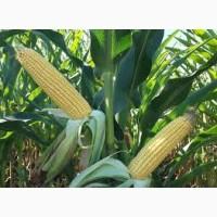 Кукуруза Оникс ФАО 350