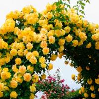 Продам Плетистую розу Golden Showers (Голден Шоуэрс)