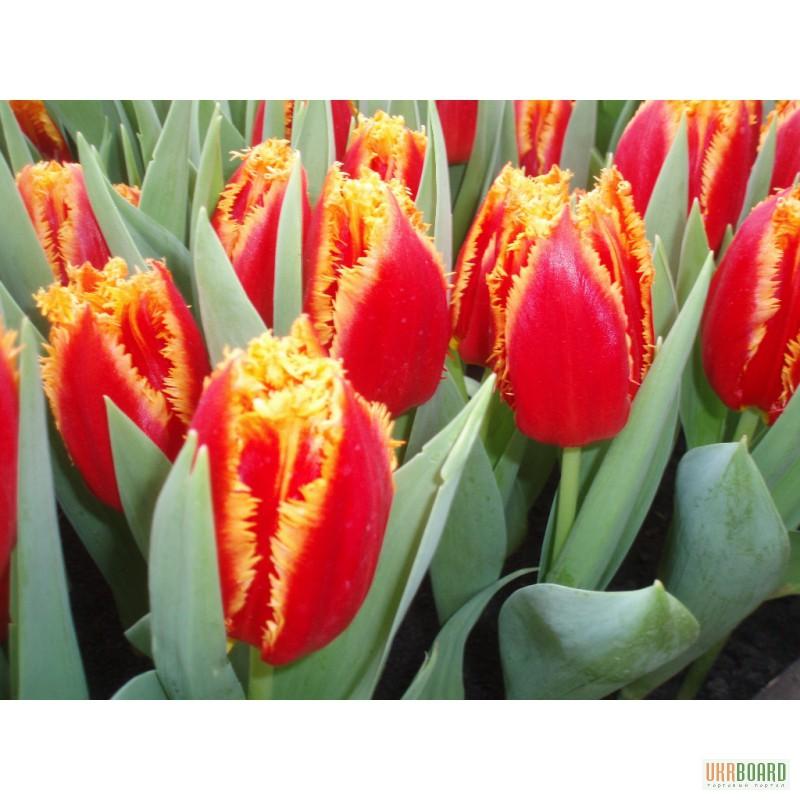 Купить тюльпаны луганская обл каштан цветы купить отрадное