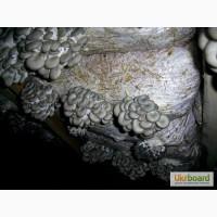 Мицелий Вешенки от 1 кг