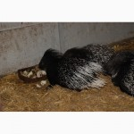 Екзотичний домашній гризун ручний дикобраз, малюки і пари на розведення