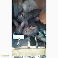 Продам кролей серый великан