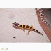 Эублефары (геккон) ручные домашние ящерицы малыши. Распродажа гекконов