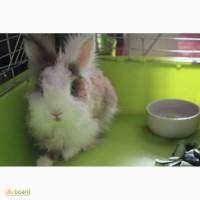 Кролик-друг породистый торчеухий декоративный 1, 5 года с клеткой