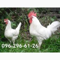 Суточные цыплята Ломан вайт