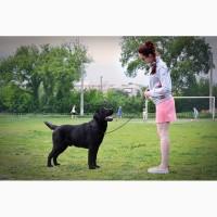 Чёрный лабрадор - вязка