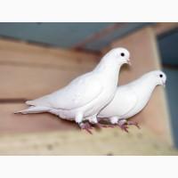 Аренда белых голубей в Киеве