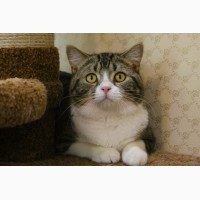 Шотландские породистые клубные кот и кошка