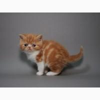 Красный мраморный Экзотик (котёнок)