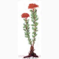 Продам Радиолу Розовую (Золотой Корень) и много других растений (опт от 1000 грн)
