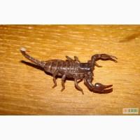 Продам малышей Pandinus imperator (Императорский скорпион)