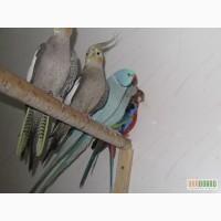 Продажа попугаев неразлучники ,волнушка, кореллы,розеллы