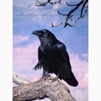 Ворон чёрный
