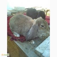 Продам кролей породы французкий баран и кастор.раз. возраст.
