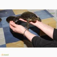 Предлагаем Европейскую болотную Черепаху. Опт и розница