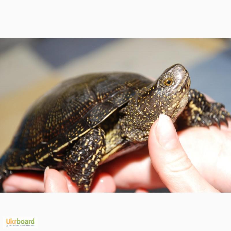 Условия содержания болотной черепахи в домашних условиях 616