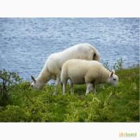 Куплю овец, баранов, коз разных пород