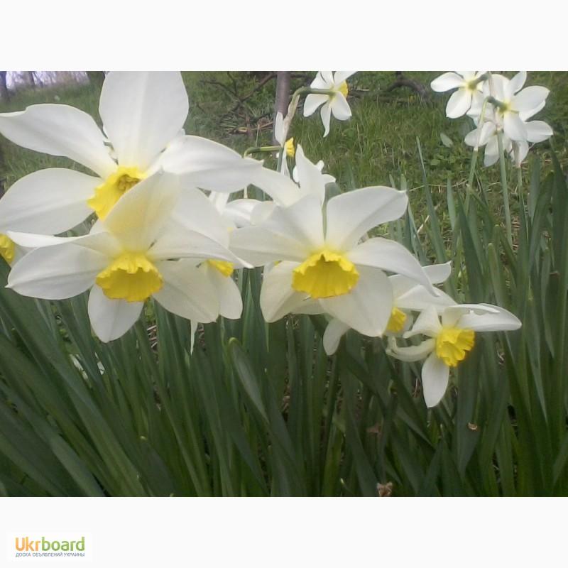 Фото 1/1. Нарциси білі для створення Долини нарцисів