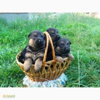 Продаю цуценята німецької вівчарки