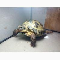 Продам черепаху среднеазиатскую