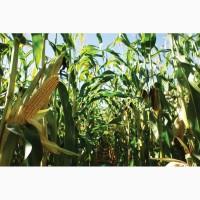 Насіння кукурудзи Амарок 300 ФАО 330