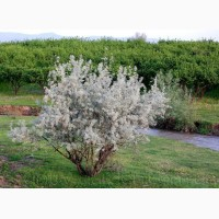 Продам Маслину Дикую в горшках и много других растений (опт от 1000 грн)