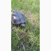 Продам взрослую Черепаху