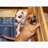 Продам щенков породы Американский стаффордширский терьер