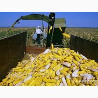 Семена кукурузы Гран 6 (ВНИС)