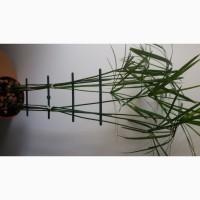 Циперус ( водяная пальма)