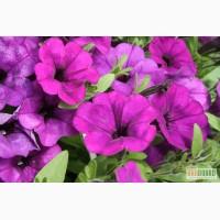 Цветы для сада и клумб, цинерария, гречка, тагетис, петуния, сальвия