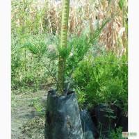 Ялівець козацький Glauca, Tamaricsifolia, ялівець середній Glauca