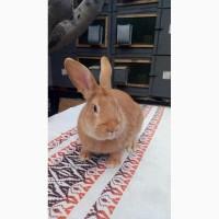 Продам чистокровных кроликов мясной породы Бургундец