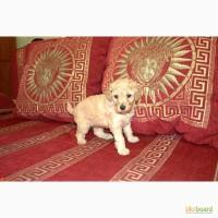 Продам щенка карликового пуделя