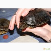 Європейська болотяна черепаха. Особини різної статі віку та розміру. Опт і роздріб