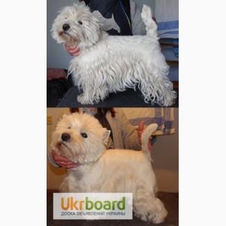 Тримминг, стрижка- Вест Хайленд Вайт Терьер, West Highland White Terrier, вестик, wes