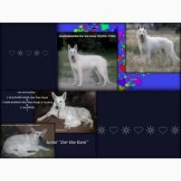 Щенки - Белая Швейцарская (немецкая) Овчарка - есть Спец. Цена от питомника