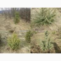 Саженцы можжевельник, Juniperus, Верес, съедобный, куст дерево