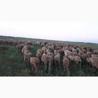 Срочно продам стадо овец Меренос-Асканийский 250 голов, Николаев