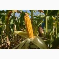 Семена гибрида кукурузы Хотин