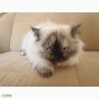 Отдам сиамскую кошку длинношерстную