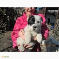 Продам чистокровных щенков среднеазиатской овчарки