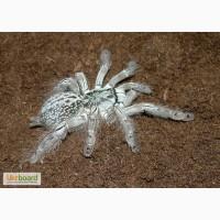 Продам Heteroscodra maculata