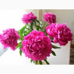 Цветы пионов(срез)