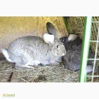 Продаю кроликов Бахчисарайский район