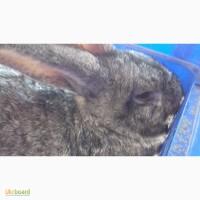 Продажа или обмен кроликов