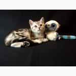 Продам шотландских котят (скоттиш страйт) мраморных окрасов от Чемпионов породы!, Есть мал