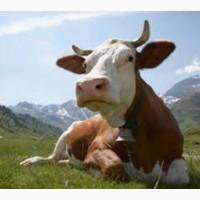 Корма и добавки для коров бычков телят